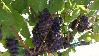 Brosseauveraison Fulcrum Wines Update